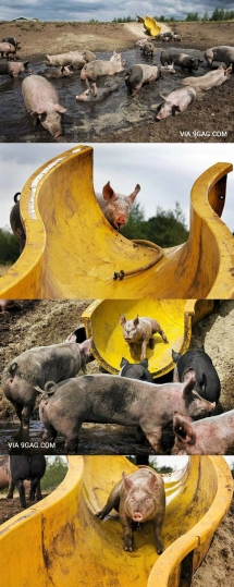 Oh look even pigs have more fun than I do